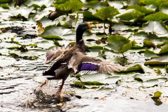 Duck001 (1 of 1)_edited-1